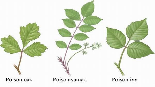 Picture of Poison Oak Rash
